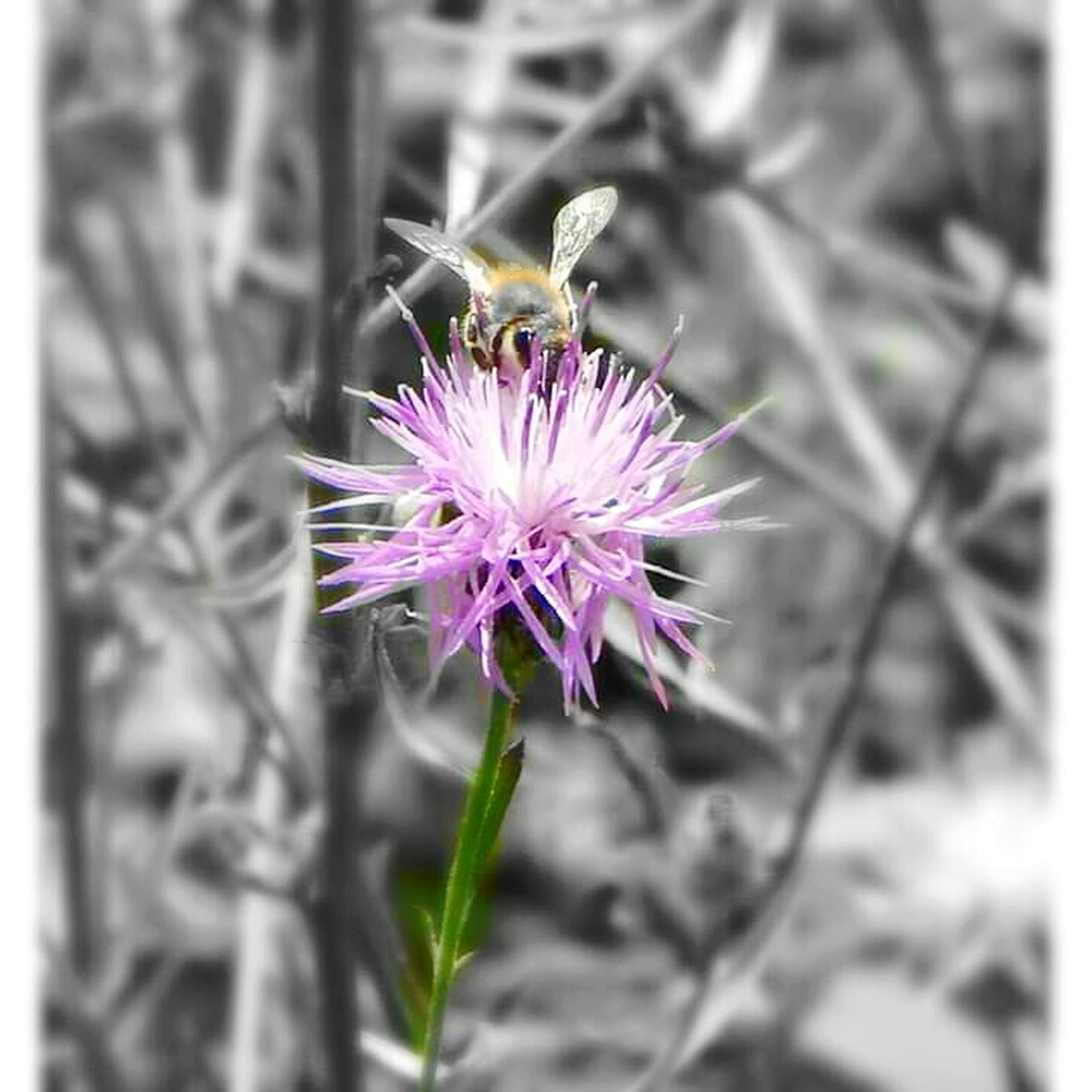 flower, petal, freshness, fragility, flower head, purple, growth, beauty in nature, close-up, single flower, blooming, focus on foreground, plant, nature, pollen, pink color, insect, one animal, in bloom, pollination