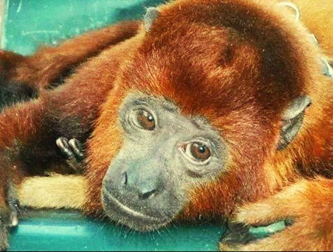 Anyelo Monos Mascota!
