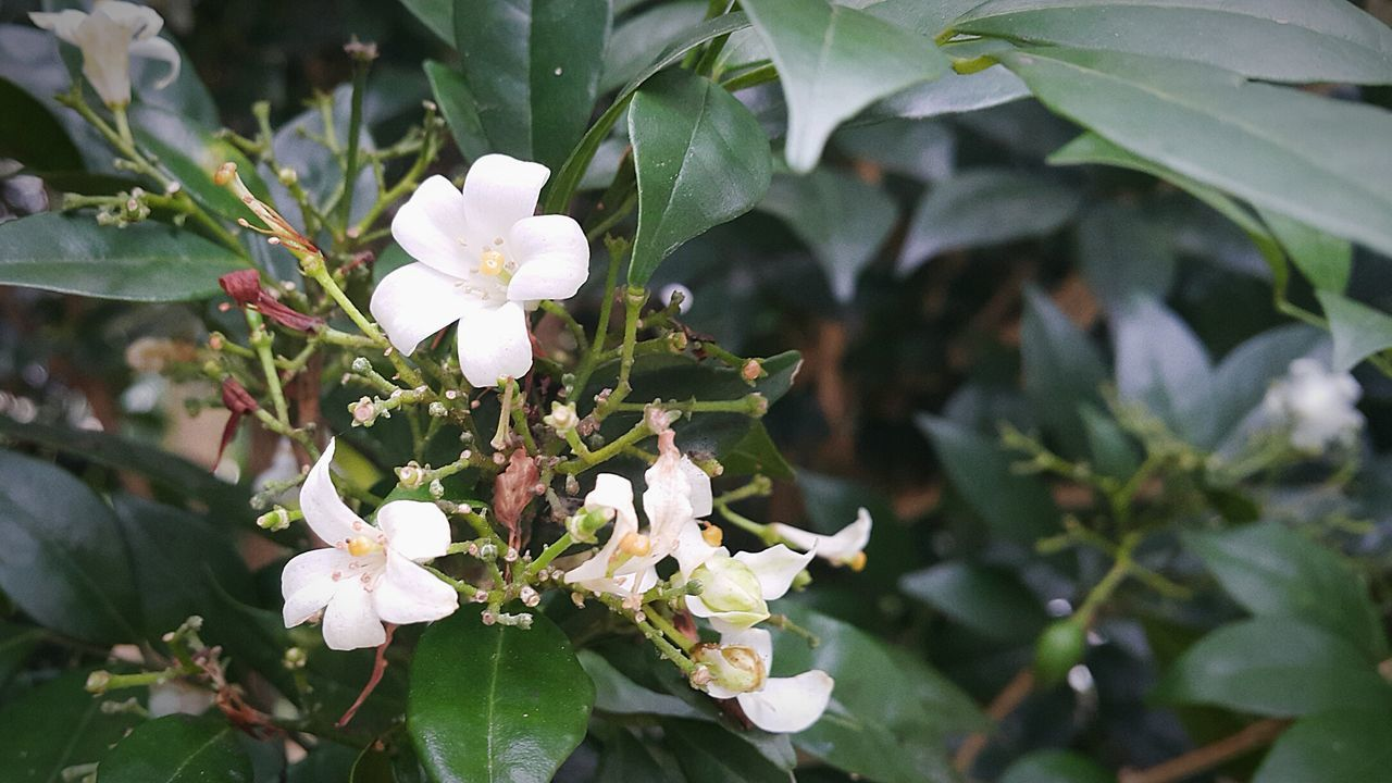 Jasmine Flower Garden Leafs Stalks Growth Nature Flower Plant Leaf Close-up Beauty In Nature Freshness No People Outdoors Day Fragility Flower Head Serenity White Petals In White Petals EyeEmNewHere