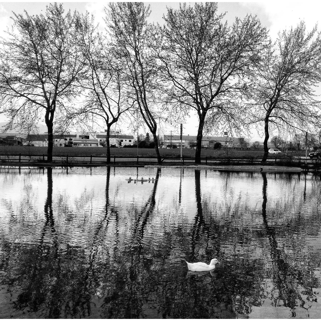 #barcelona #catalunya #cataluña #catalonia #spain #picoftheday #iphone4s #iphonography #dom365 #domfernandez Duck Ducks Paisaje Onepicaday Catalonia Nature_collection Ruralphotography SPAIN Trees Domfernandez Monochrome Blackandwhite B&w