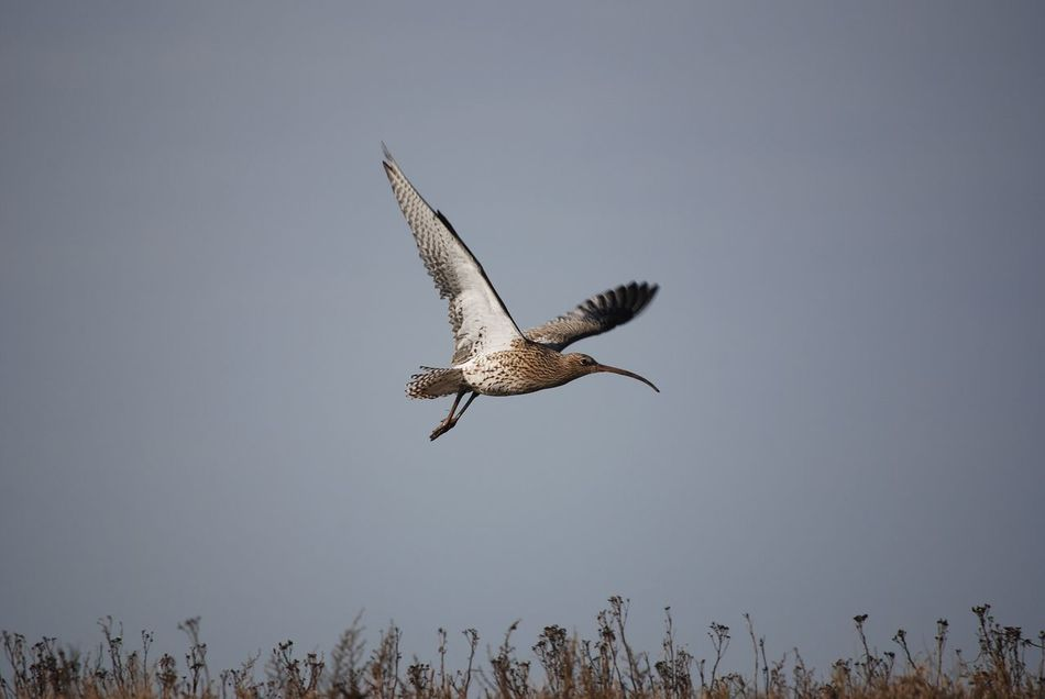 Curlew Flying Spread Wings Bird Animal Themes Animals In The Wild One Animal Bird Of Prey Animal Wildlife No People Nature Day Outdoors Sky Curlew Wading Birds