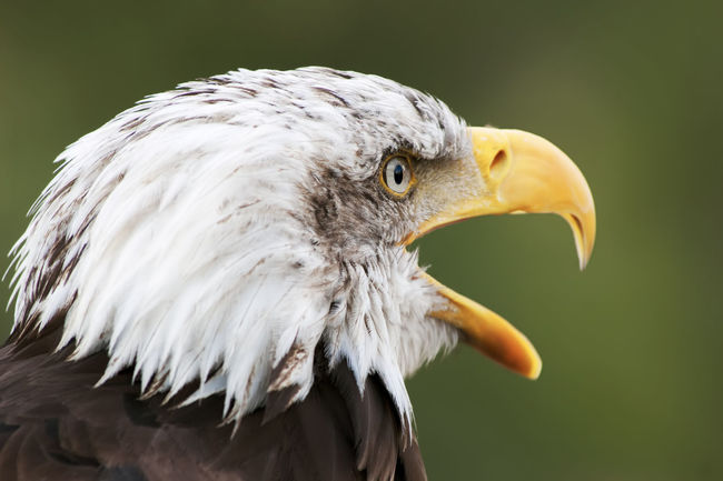 bald eagle head close up portrait America Animal Body Part Animal Head  Animal Themes Avian Beak Beauty In Nature Bird Bird Of Prey Close-up Day Eagle Feather  Focus On Foreground Iris Leucocephalus Nature No People Outdoors Portrait Predatory Wildlife