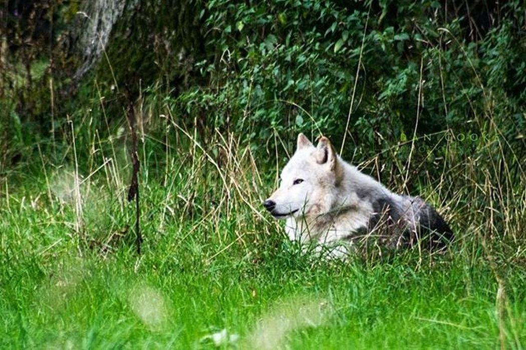 Leader of the Pack Longleatsafaripark Wolf WOlves Wildlife