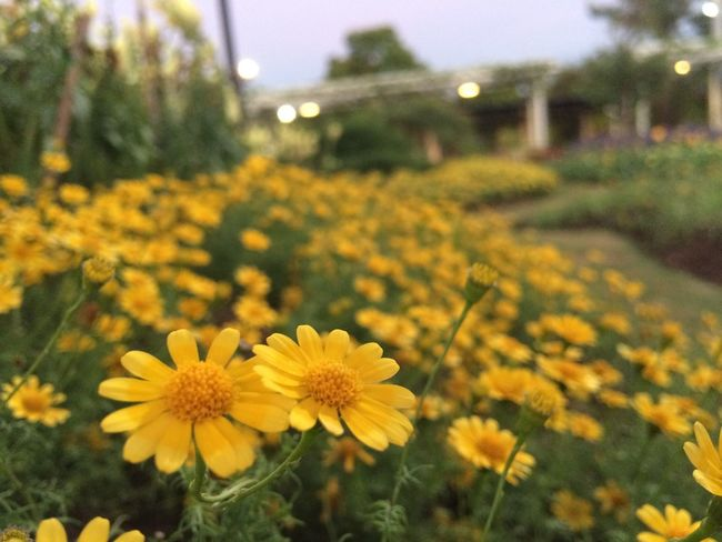 Beautiful flower in nature. Green Nature Plant Tranquility Beauty In Nature Beauty In Nature Beutiful  Blooming Botany Close-up Colorful Day Field Flora Flower Flower Head Flowrrs And Plants Fragility Freshness Growth Nature No People Outdoors Park Petal Plant Summer Yellow