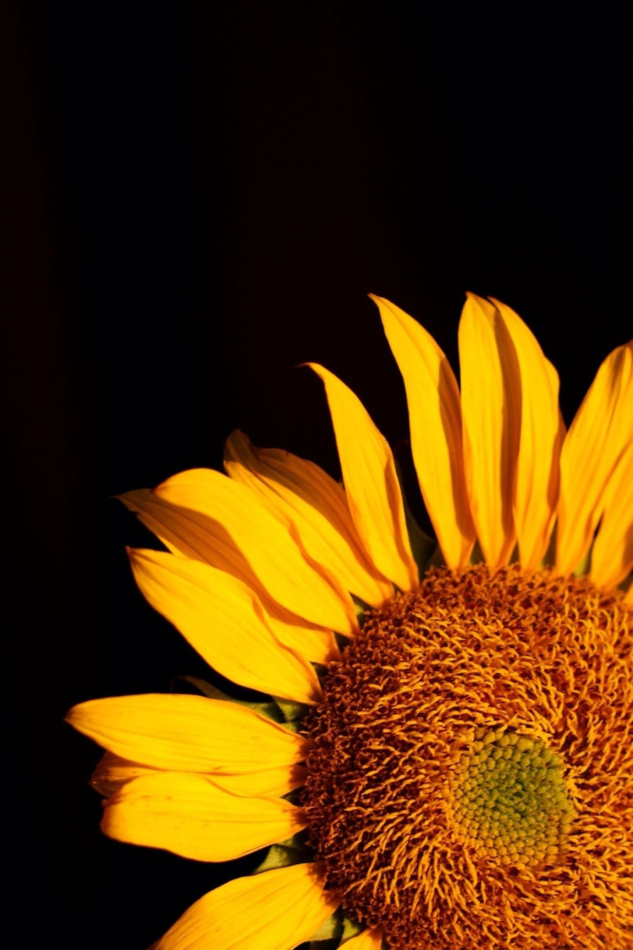flower, yellow, petal, flower head, fragility, freshness, sunflower, beauty in nature, close-up, growth, studio shot, nature, single flower, plant, pollen, blooming, black background, natural pattern, blossom, no people