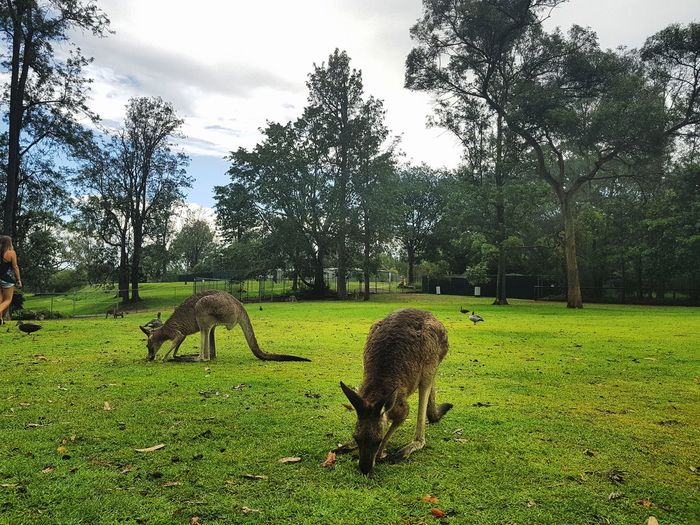 Tree Green Color Nature Animal Themes Growth Grass Mammal No People Outdoors Field Sky Animals In The Wild Day Domestic Animals Beauty In Nature Australia Brisbane Kangaroos Pine Lane Park Travel Destinations Clear Sky City Animal Wildlife Plant Freshness