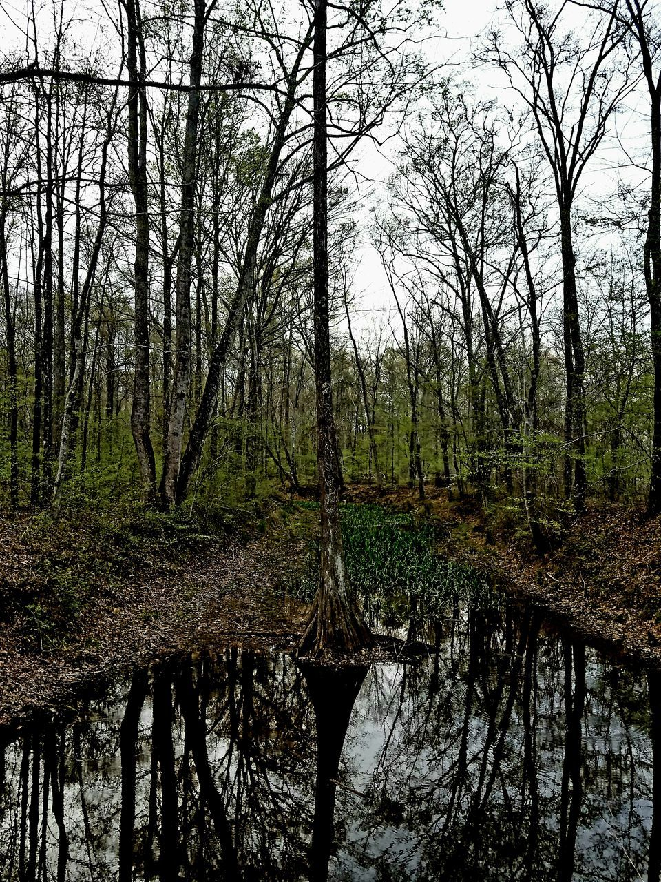 tree, tranquility, nature, forest, tranquil scene, beauty in nature, scenics, water, outdoors, day, bare tree, reflection, tree trunk, branch, no people, sky