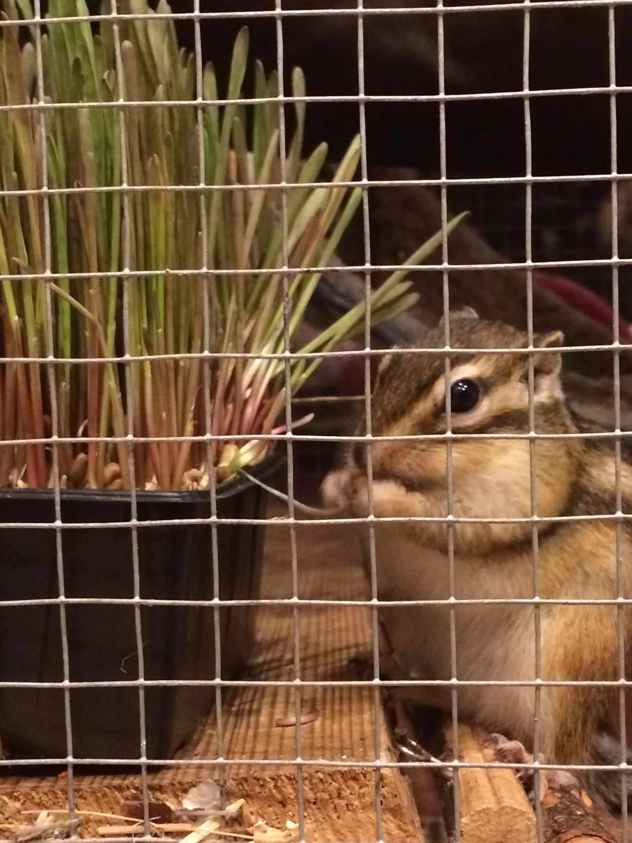 Animal Themes Animal Wildlife Animals In Captivity Cage Chipmunk Chipmunk Close-up Chipmunk Eating Chipmunk Photography Chipmunkcheeks Chipmunkface Chipmunks  Close-up Day Domestic Animals Domestic Life Hamster Mammal Nature No People One Animal Pet Pet Photography  Pets Stripes Everywhere
