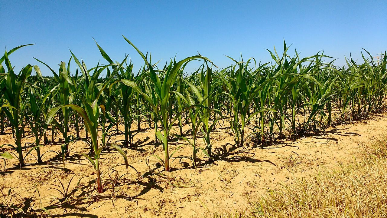 Agriculture Sunny Sky Vegetable Day Growth Nature Clear Sky Outdoors Corn No People Germany Baden-Württemberg  Remmingsheim