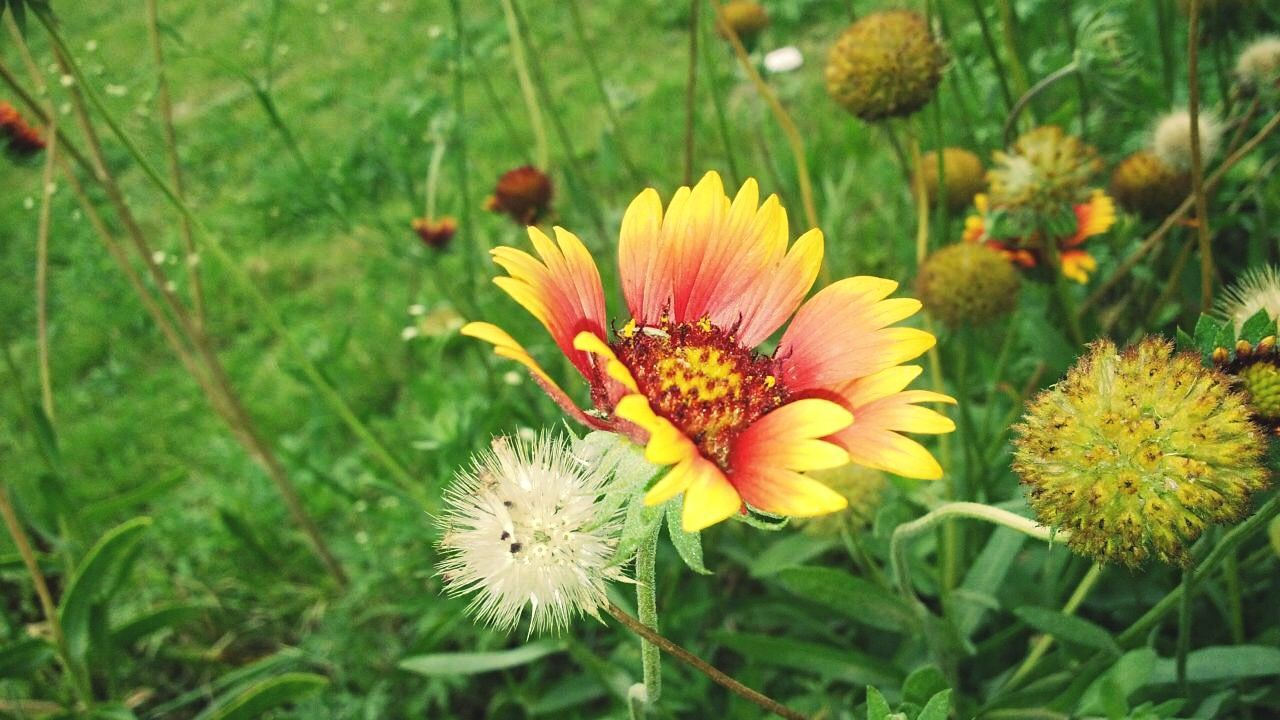 flower, growth, nature, flower head, petal, beauty in nature, fragility, freshness, plant, yellow, no people, day, pollen, outdoors, close-up, blooming, grass, animal themes