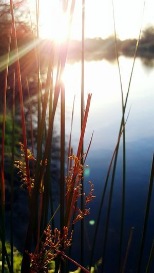 Looking Through The Reeds At The River Macro Beauty Galaxys6edge Sunshine Collection Sunshine Silhouettes