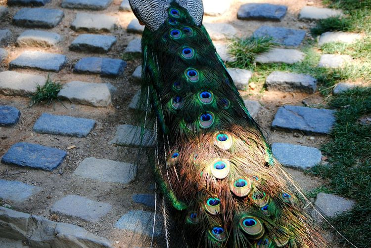 Peacock Peacock Feathers Peacock Colors Dslrphotography Animal_collection Birds_collection Backside Portrait Birds Of EyeEm  Showcase April Shadows & Lights Barcelona Showing Imperfection Nature_collection Upclose Street Photography