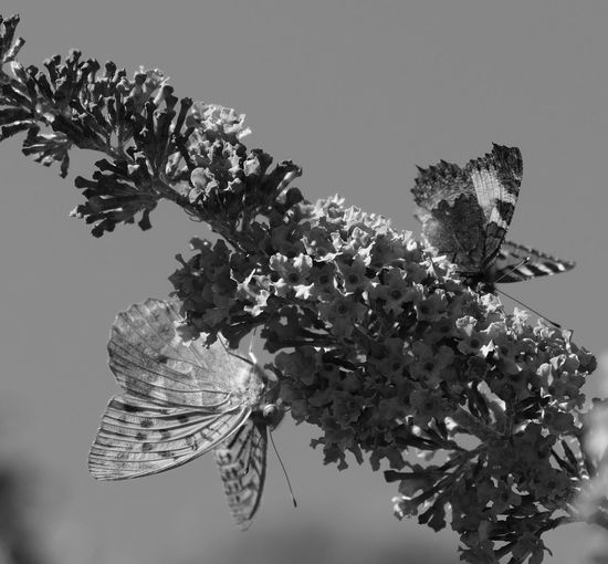 Silver-washed Fritillary -EyeEMonoChrome - Natural Beauty - Garden & Nature - Eye4photography  - Fine Art Photography - Light & Dark - Creative Light And Shadow - Nature On Your Doorstep