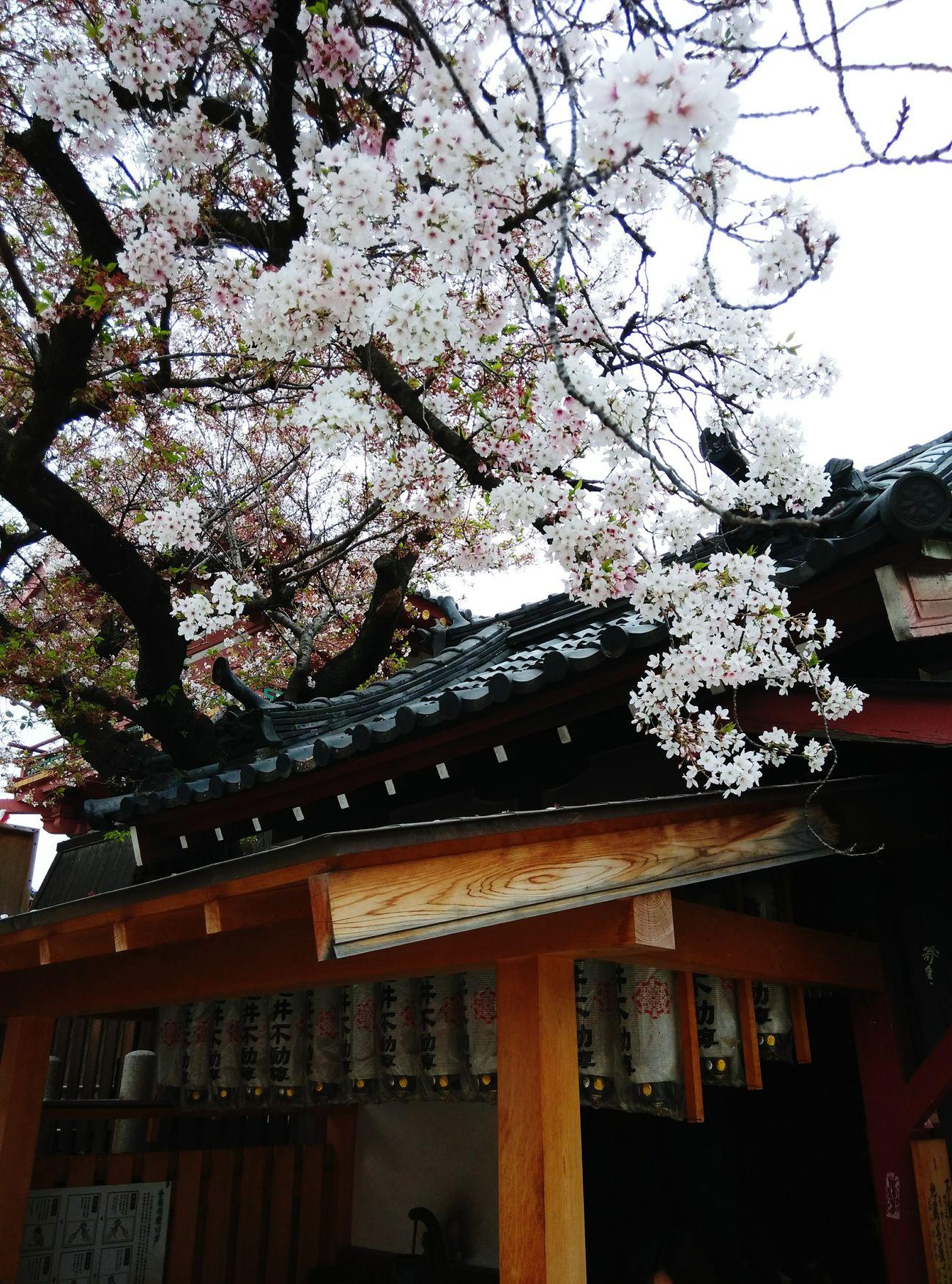 Sakura Shitennoji Osaka,Japan