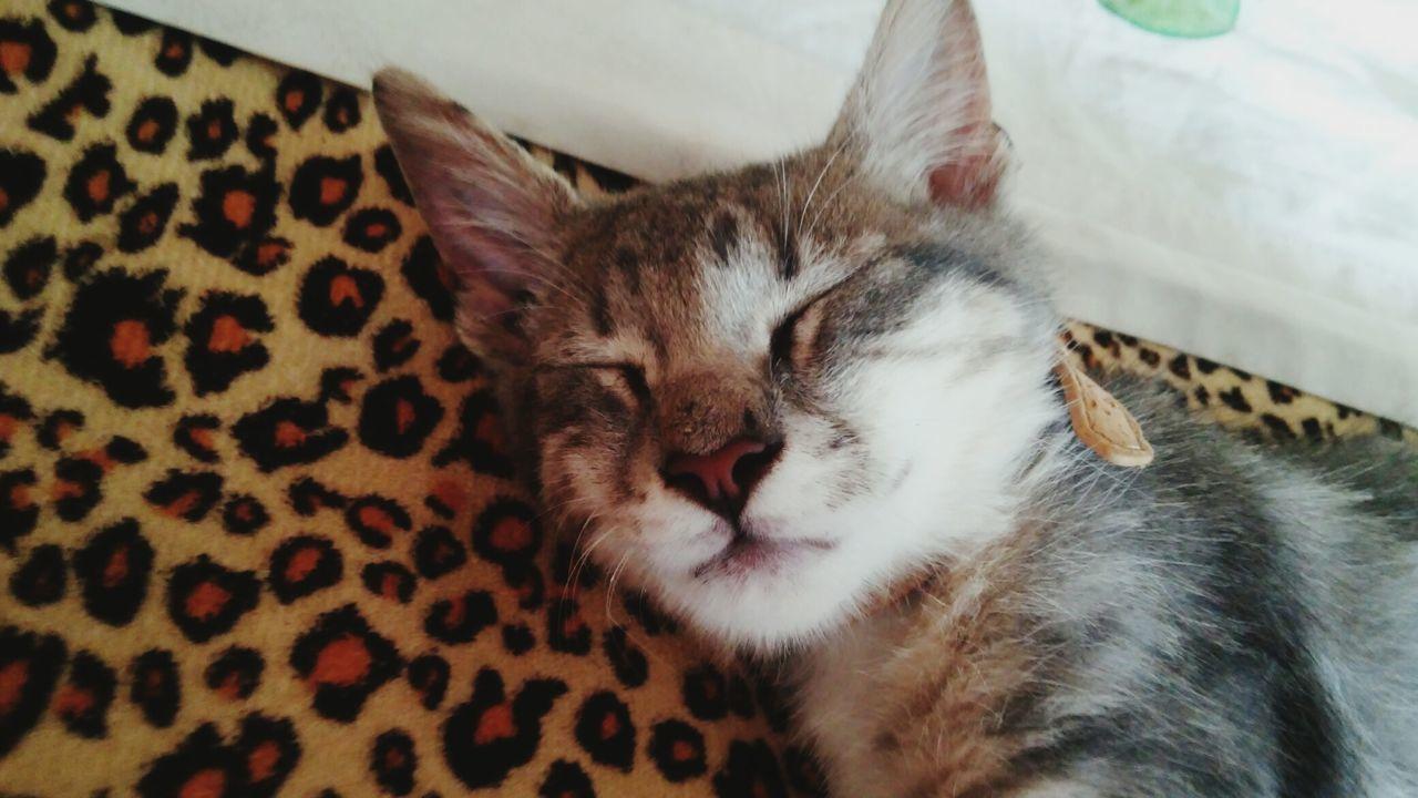 Gato Dormir