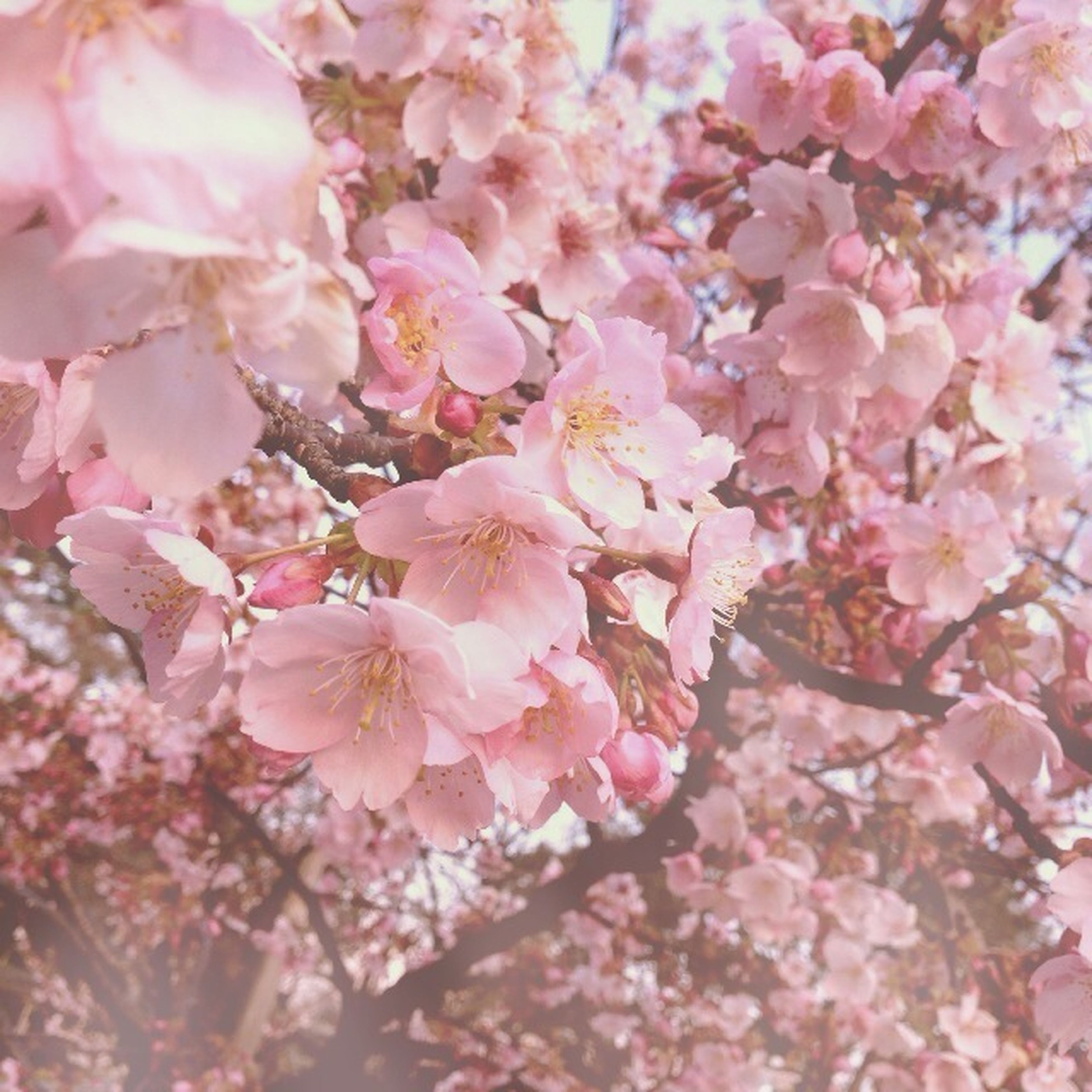 flower, freshness, fragility, pink color, growth, beauty in nature, cherry blossom, branch, tree, blossom, nature, petal, cherry tree, in bloom, pink, blooming, springtime, backgrounds, close-up, low angle view