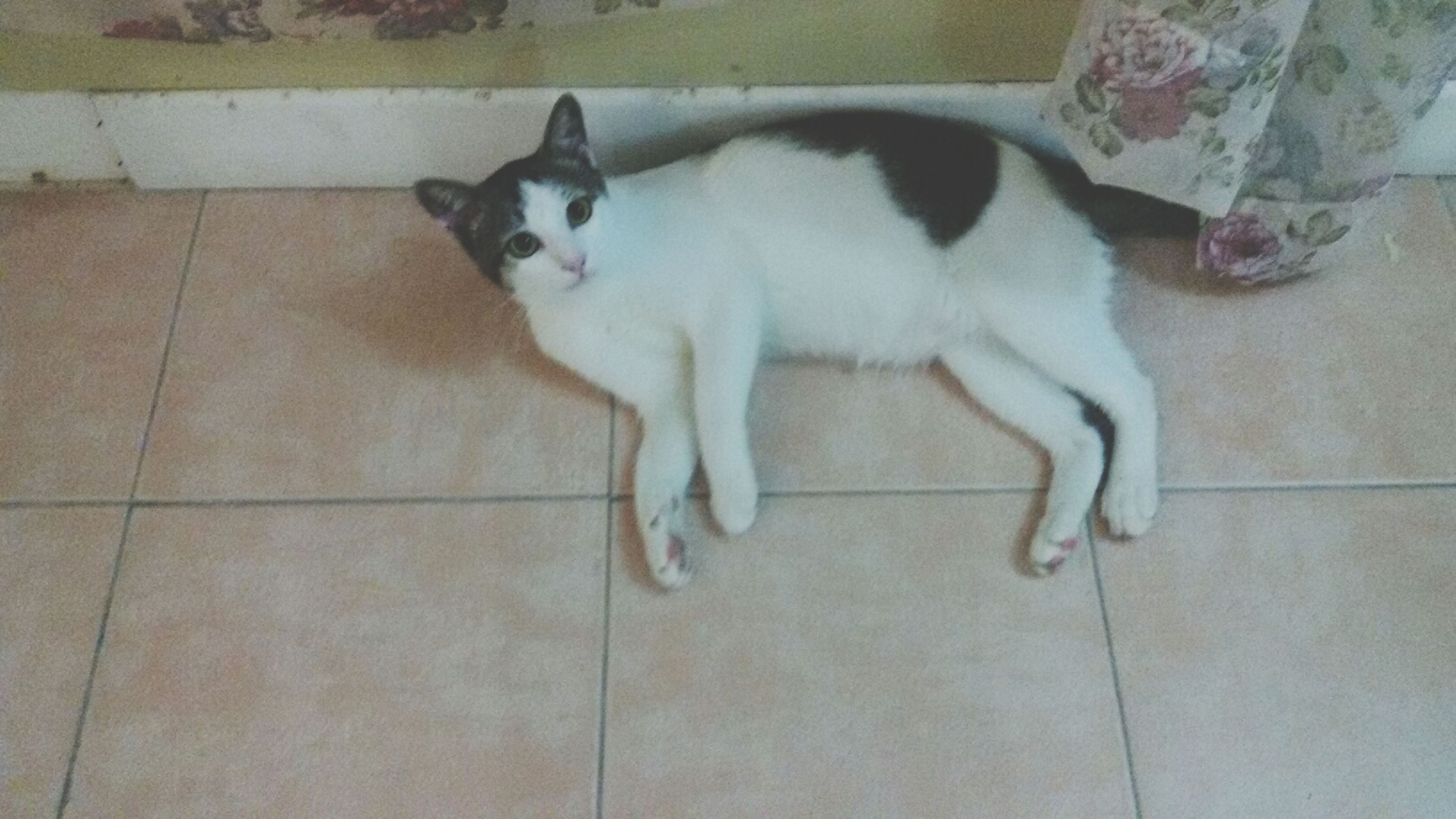 domestic animals, pets, animal themes, mammal, one animal, domestic cat, cat, indoors, high angle view, feline, relaxation, tiled floor, flooring, full length, lying down, dog, white color, resting, no people, sitting