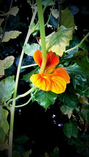 Flower Fragility Nature Growth Beauty In Nature Flower Head Outdoors Close-up Nasturtium Nasturtium Flowers Nature Fauna Salad Breathing Spaceeyeemnewhere EyeEmNewHere Investing In Quality Of Life