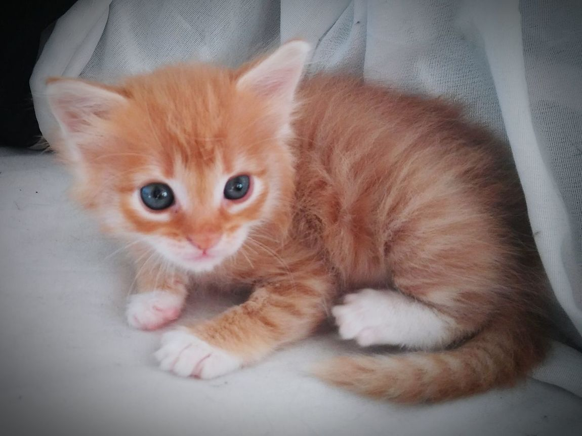 Adorable Lil Peanut💚💚💛💛 Pets Domestic Animals One Animal Domestic Cat Animal Themes Portrait Lying Down Feline Indoors  Whisker No People Close-up Relaxation Animal Family Heart ❤ Whiskers Tranquility Ginger Kittens Young Animal Gingercat Gingercatsofinstagram