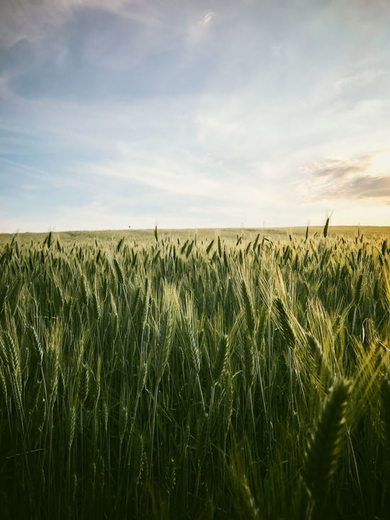 Wheat field Agriculture Beauty In Nature Cereal Plant Crop  Day Ear Of Wheat Farm Field Grass Growth Landscape Nature No People Outdoors Plant Rural Scene Scenics Sky Tranquil Scene Tranquility Wheat