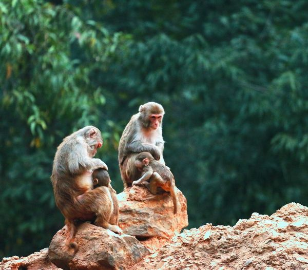 Music Brings Us Together motherhood Animal Themes Animals In The Wild Wildlife Rock - Object Mammal Monkey Sitting Primate Focus On Foreground Togetherness Three Animals Relaxation Rock Rock Formation Mountain Zoology Non-urban Scene Day Nature Zoo