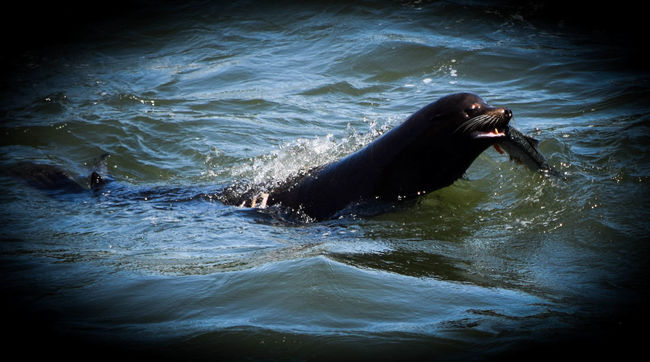Nature On Your Doorstep The Moment - 2015 EyeEm Awards The Great Outdoors - 2015 EyeEm Awards Sea Lion EyeEm Nature Lover Nature_collection Lunch Animals Streamzoofamily EyeEm Best Shots - Nature