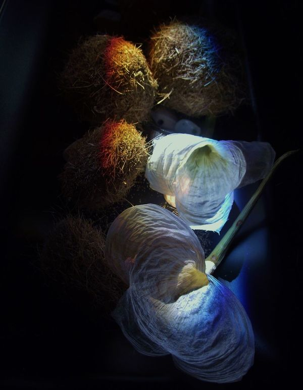 GARLIC FLOWERS Garlic Flowers Still Life Rainbow Espressionism Flowers The Light Song The Song Of Light Showcase June Fine Art Photography ?
