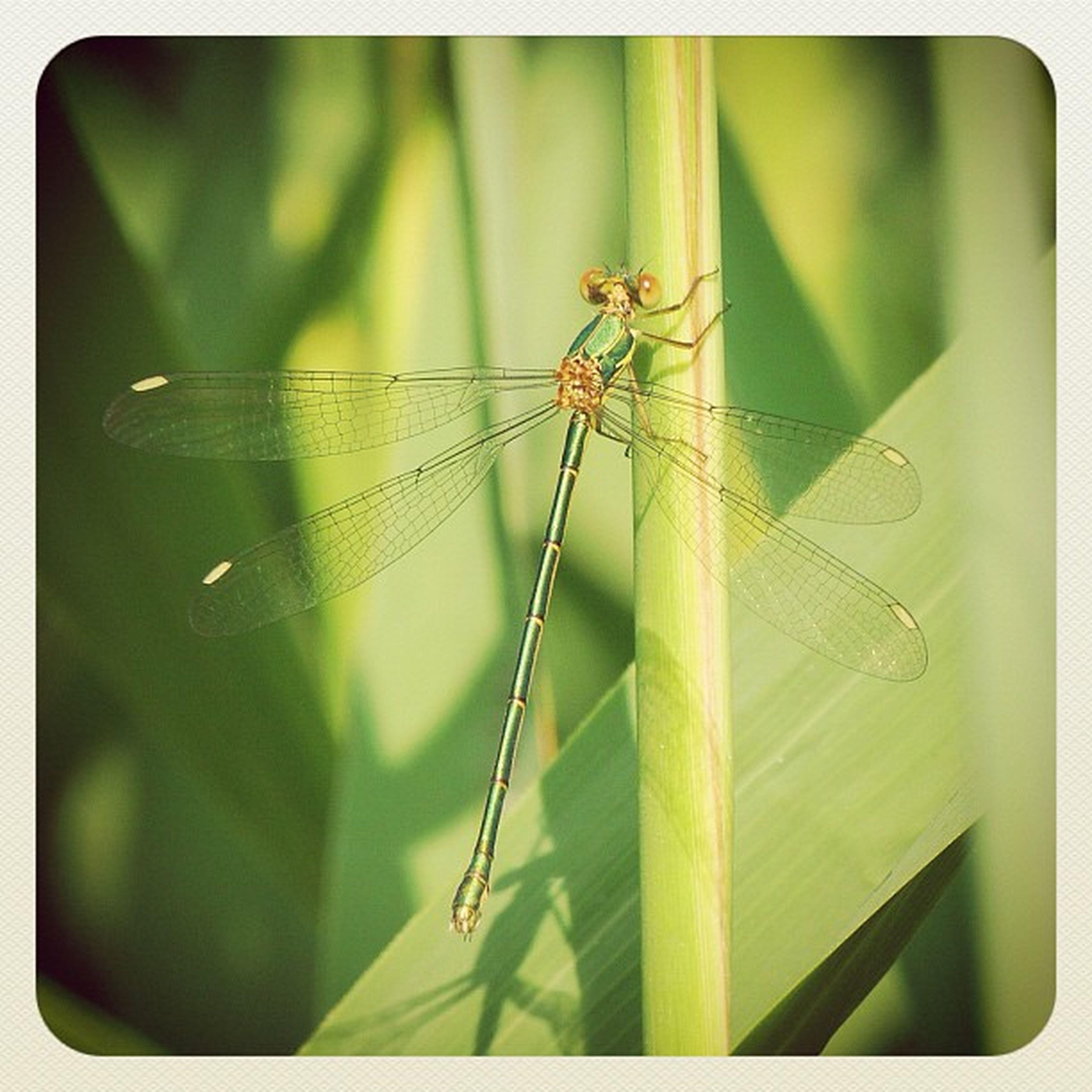 Natureporn Natureeza Nature Insect libelle copter libelula dragonfly insect naarden naturelovers dragonflies iphonesia