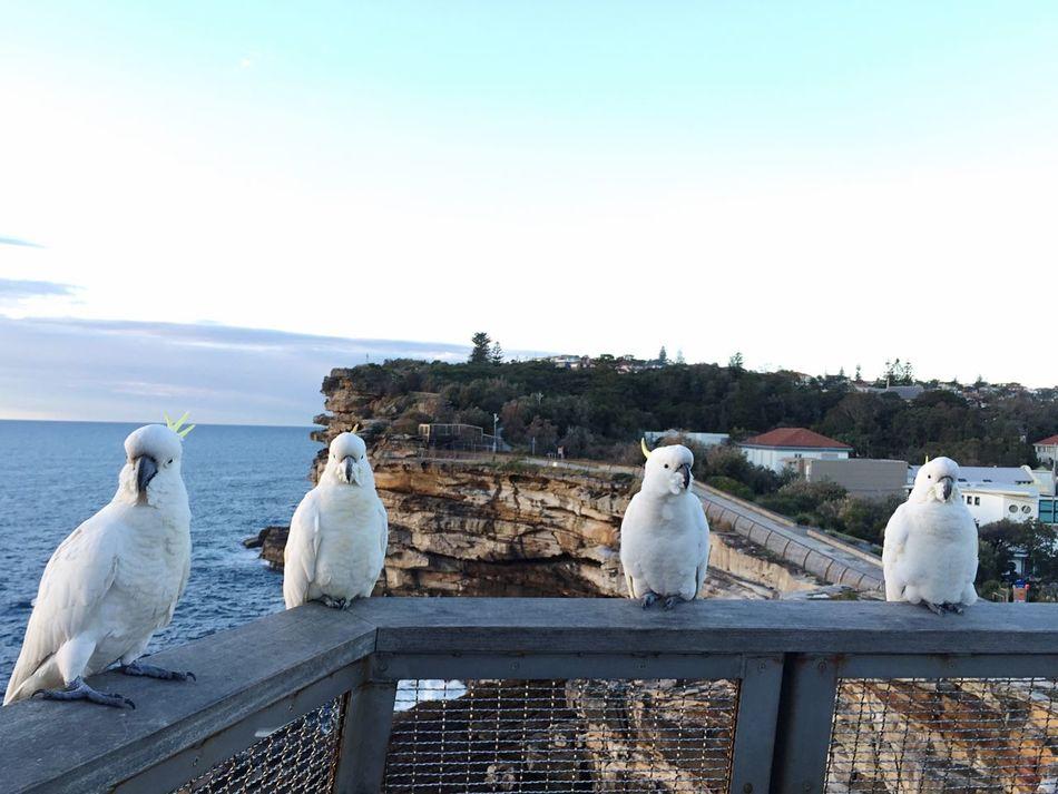 Four in a row Cockatoo Birds Wildlife & Nature Ocean Outside Earlymorning  Native Birds