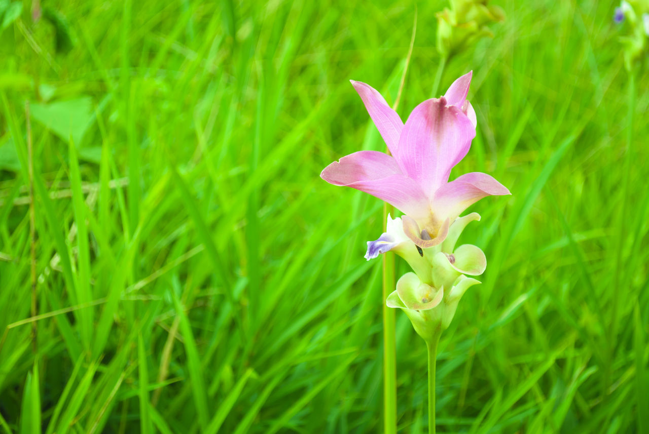 flower, petal, growth, fragility, freshness, nature, beauty in nature, flower head, green color, plant, blooming, grass, pink color, no people, close-up, day, outdoors