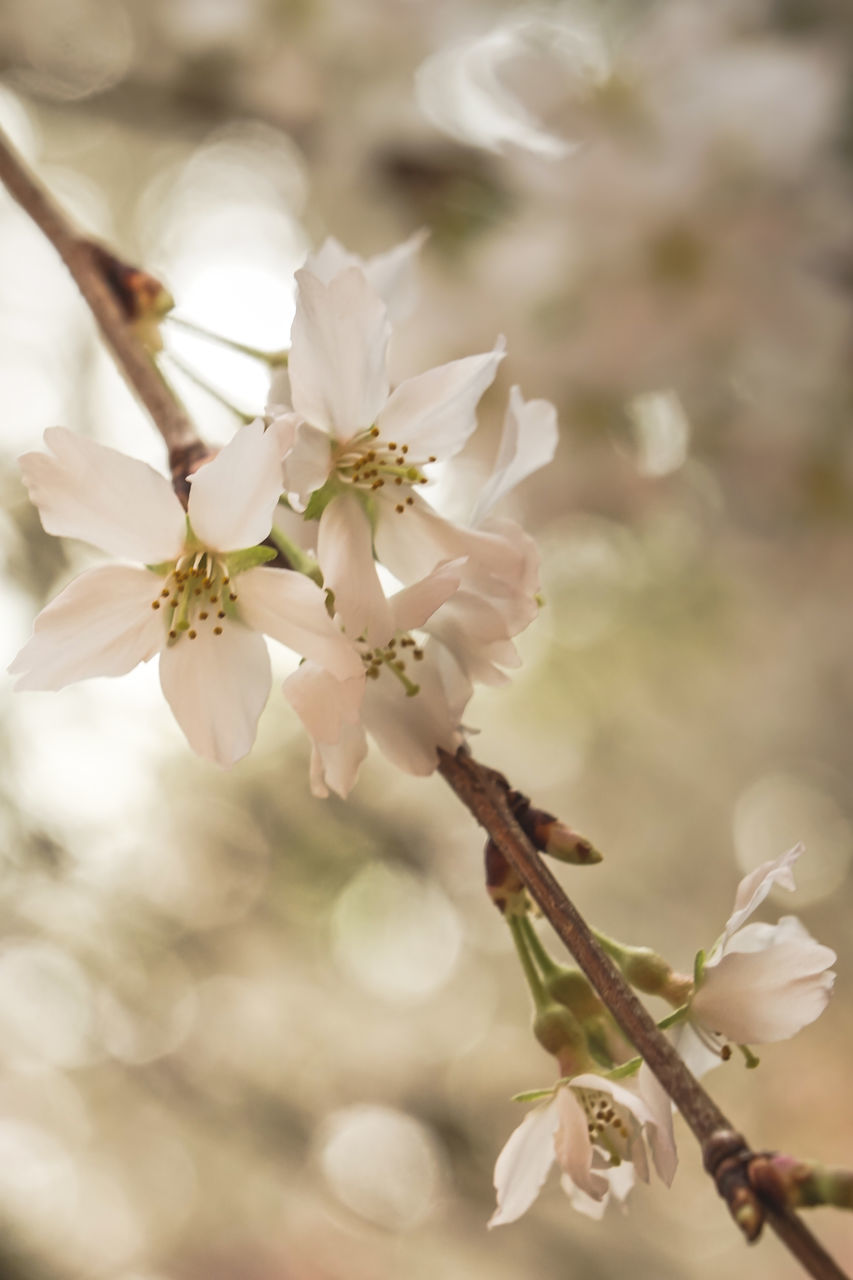 flower, fragility, nature, growth, white color, beauty in nature, blossom, petal, tree, apple blossom, no people, freshness, twig, springtime, day, close-up, branch, flower head, outdoors, blooming
