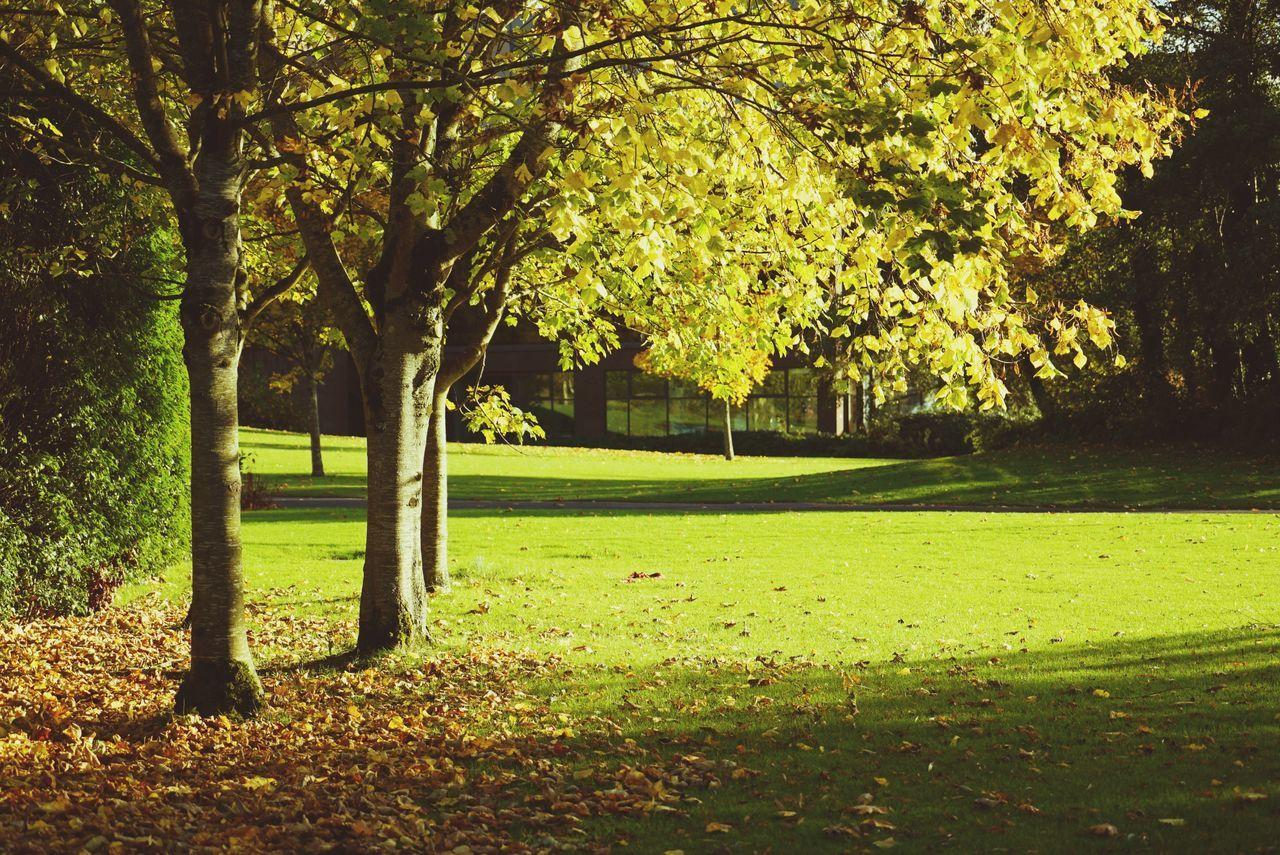 University Tree Autumn