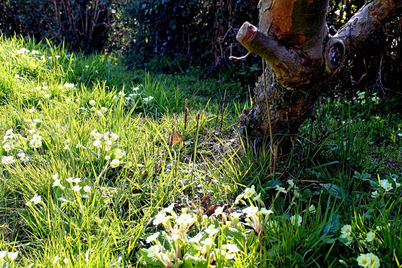 Beauty In Nature Day Grass Growth Nature No People Outdoors Primrose Sunlight Tree