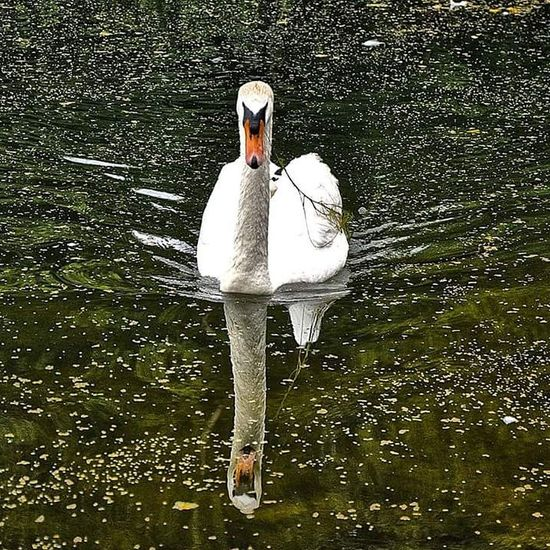 Water Lake Day Outdoors No People Nature Swan Bird Flamingo
