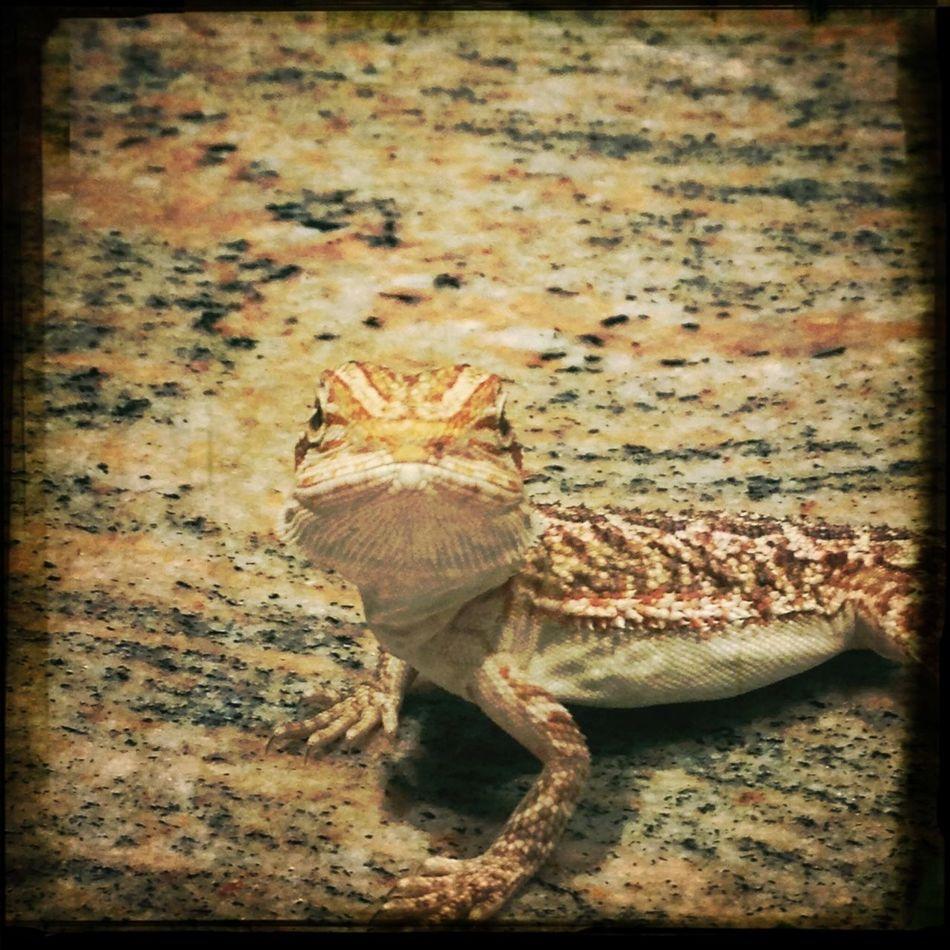 my new baby, bearded dragon
