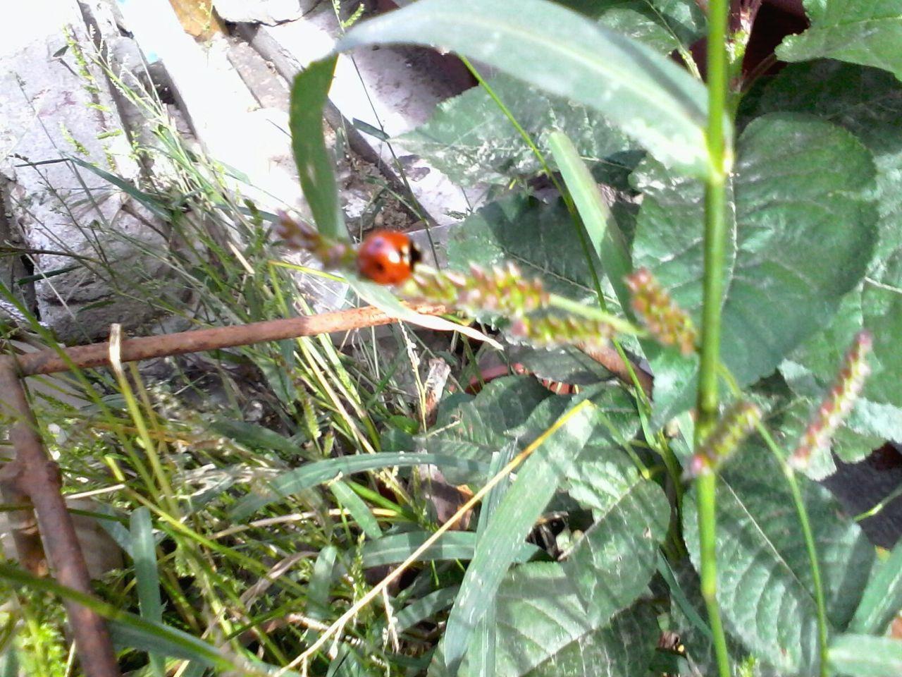 Ladybeetle Wolfzuachis Ladybug Green Plants Eyeem Market