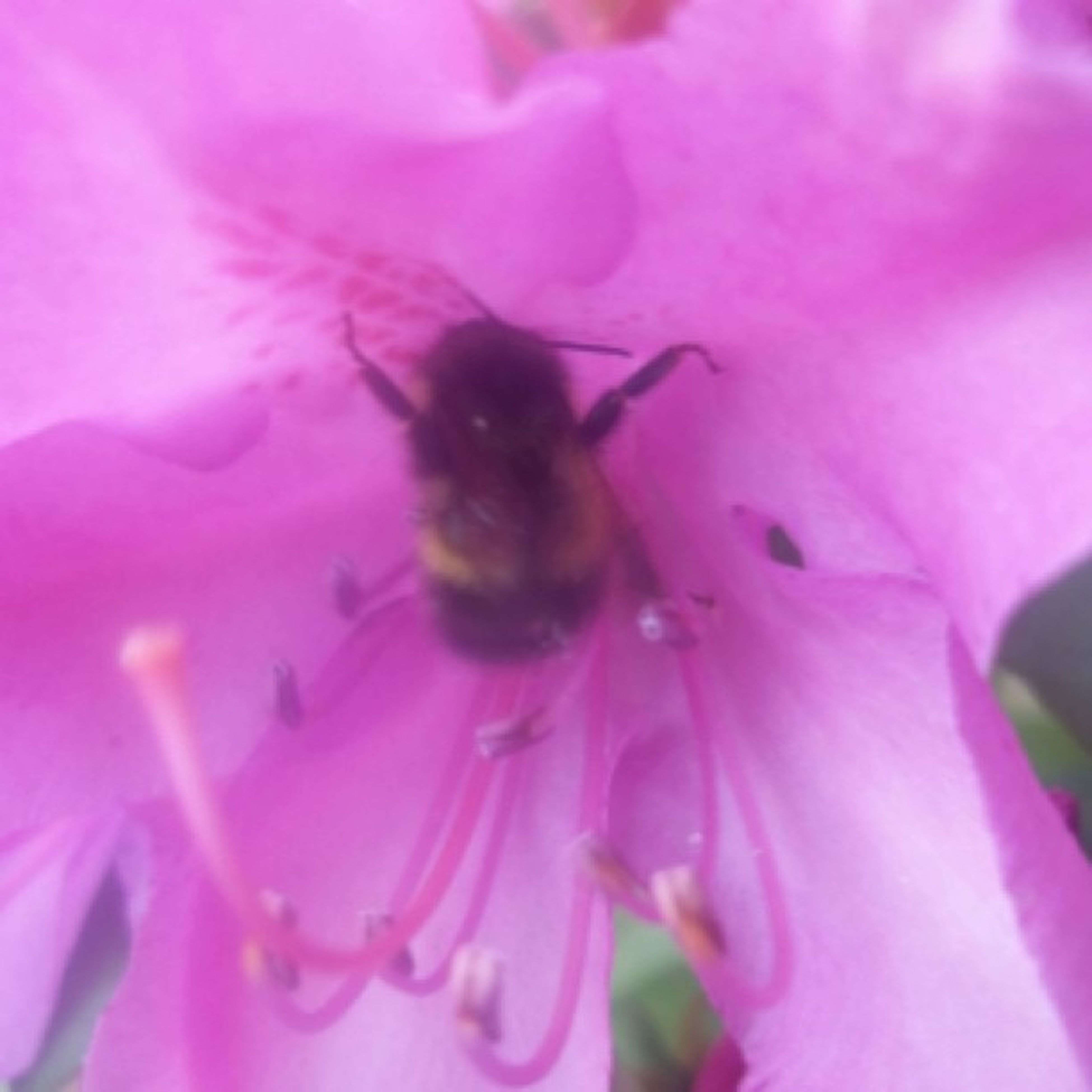 flower, one animal, petal, insect, animal themes, flower head, fragility, freshness, wildlife, animals in the wild, close-up, beauty in nature, pink color, bee, growth, pollen, nature, pollination, selective focus, single flower