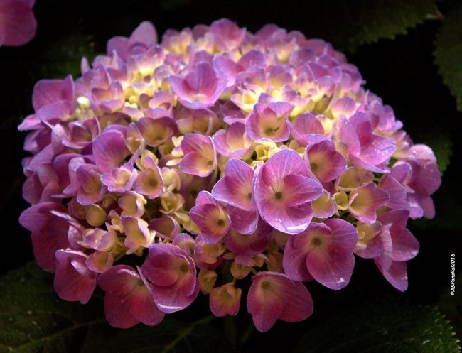 Ortensia Blu Ortensia Plant Flower Flowers