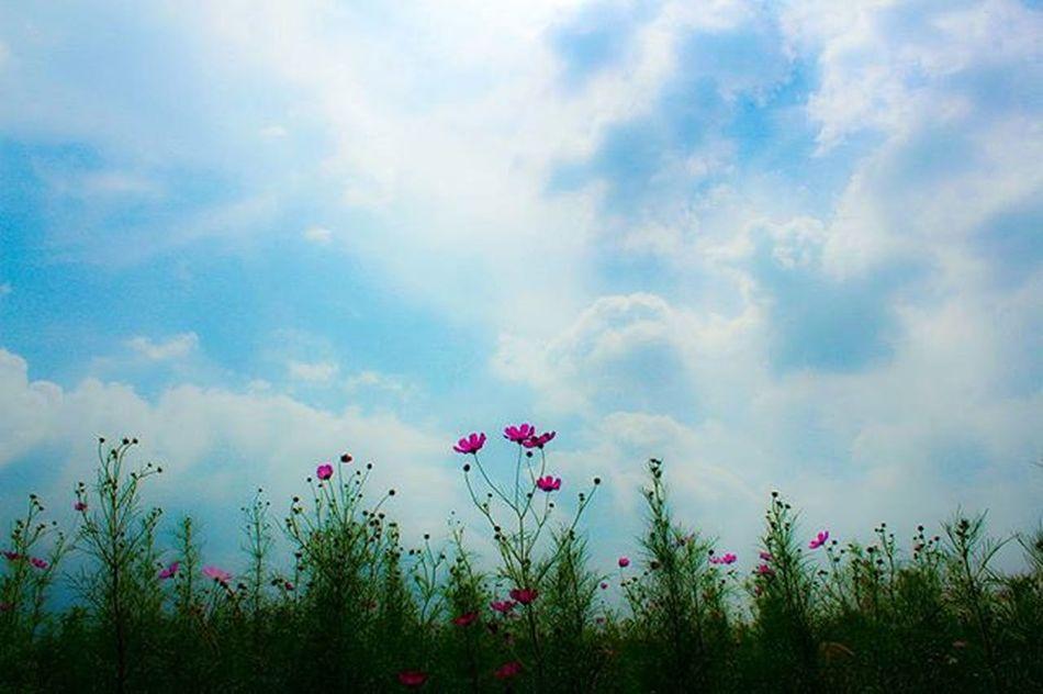 가을의 코스모스. 삼락 삼락공원 삼락생태공원 코스모스 가을 하늘 가을하늘 포토그래퍼 부산 부산출사 부산출사지 부산가볼만한곳 부산코스모스 DSLR Eos650d Canon Korea Busan Pusan 빈카메라