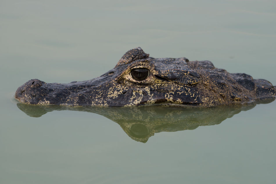 Beautiful stock photos of alligators,  Alligator,  Animal Themes,  Animals In The Wild,  Close-Up