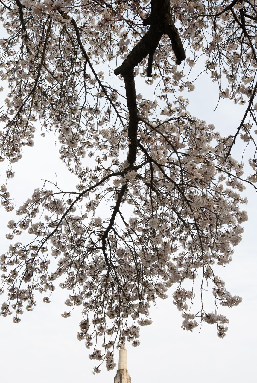 tree, branch, low angle view, growth, blossom, nature, beauty in nature, flower, clear sky, apple blossom, fragility, springtime, outdoors, day, twig, sky, tranquility, no people, freshness