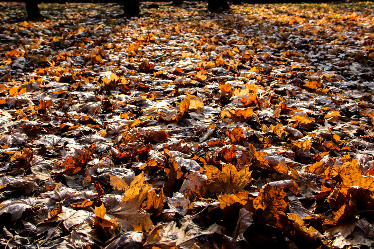 carpet of leaves, fallen dry leaves glow in the sun Abundance Autumn Backgrounds Beauty In Nature Carpet Of Leaves Change Day Dry Leafs Fall Colors Full Frame Leaf Low Sun Nature No People Outdoors Shadows & Lights Shadows Of Trees