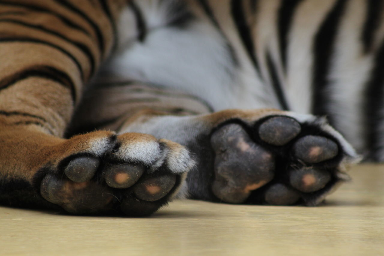 animal themes, one animal, mammal, domestic animals, pets, no people, indoors, feline, relaxation, domestic cat, animal leg, close-up, paw, dog, day, nature