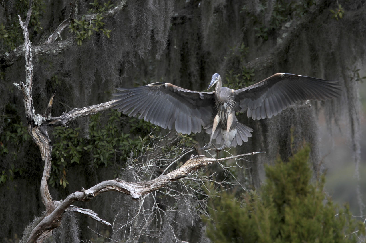 Animal Themes Animal Wildlife Animals In The Wild Bird Day Flying Forest Great Blue Heron Nature No People Outdoors Pterodactyl Spread Wings Tree