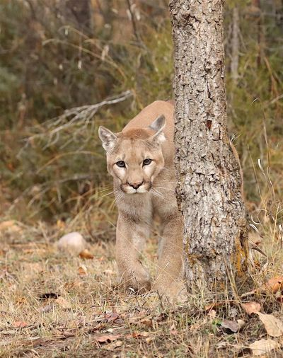 """Looking"" my lion quietly moving while watching all he sees One Animal Animals In The Wild Mammal Looking At Camera Animal Themes Tree Outdoors Animal Wildlife Tree Lion Cougar Mt Lion No People Beauty In Nature Cougars Forest Mammals Animal Photography Cat Feline Field Grass"
