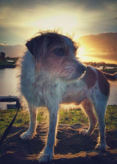 Outdoors Dog No People Nature Sonnenstrahlen Sonnenuntergang Kromfohrlander Hundefotografie