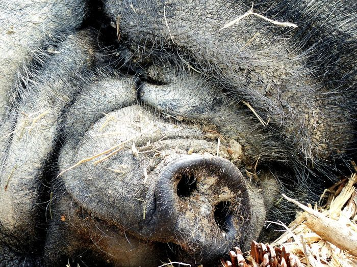 Pig Vietnamese Face Portrait Sleep No People Day Sigeanreserveafricaine
