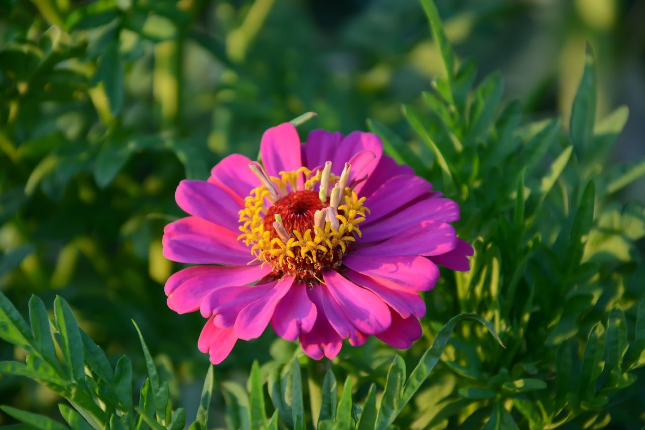 Beauty In Nature Close-up Day Flower Flower Head Fragility Freshness Leaf Nature No People Outdoors Petal Pink Color