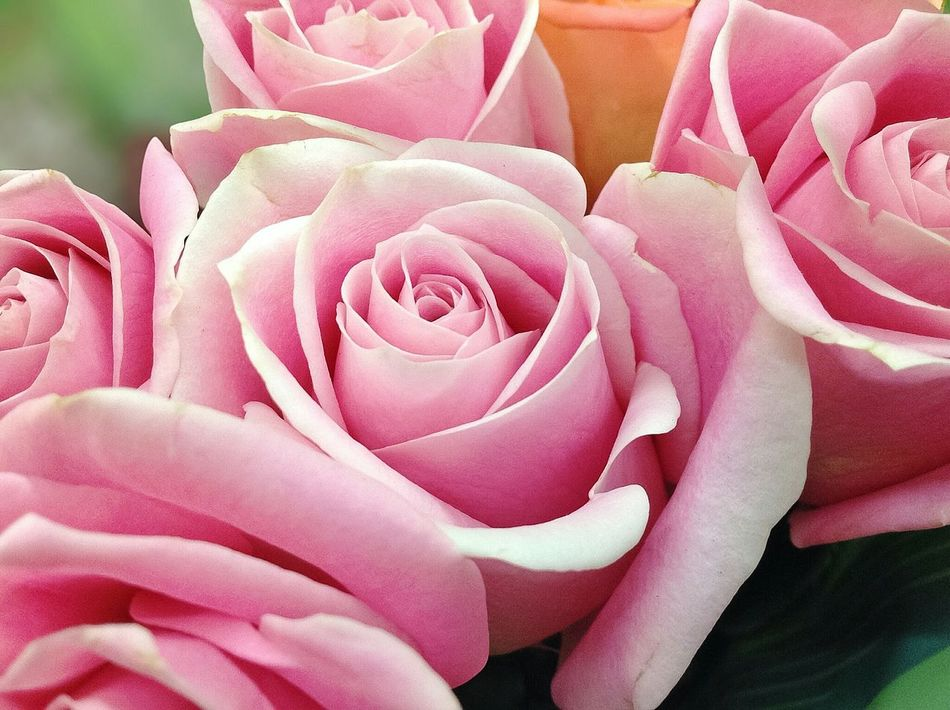 Pink Roses Pink Color Flower Petal Rose - Flower Close-up No People Full Frame Flower Head Nature Fragility Beauty In Nature Freshness Plant Backgrounds Day Mothers Day Love Roses Roses Flowers  Roses_collection Rose Flower Pink Roses Close-up Bridal EyeEmNewHere Artiseverywhere