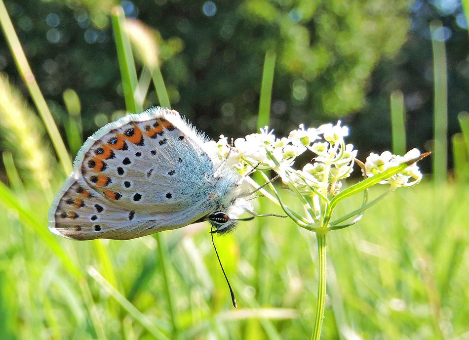 The common blue, Polyommatus icarus, is a small butterfly in the family Lycaenidae, Lycaenidae, Beauty In Nature Butterfly - Insect Butterfly ❤ Day Flower Focus On Foreground Grass Green Nature No People Outdoors POLYOMMATUS ICARUS The Common Blue
